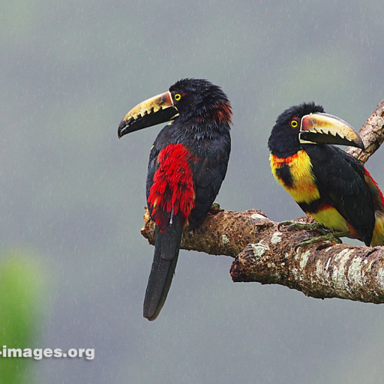 2 collared aracaris image taken in Panama