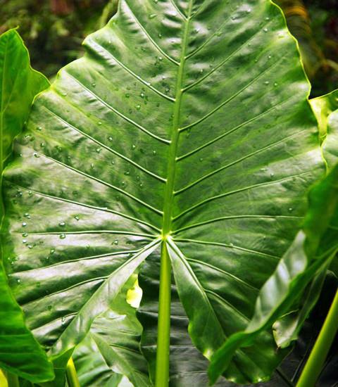 Alocasia - Elerphant Ear Leaf