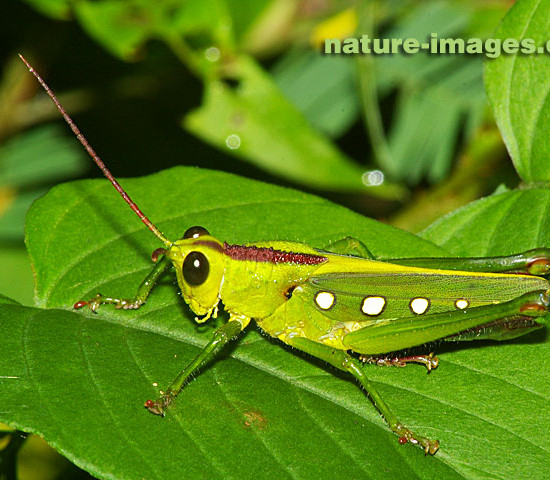 Green dotted Grasshopper photo taken in Panama