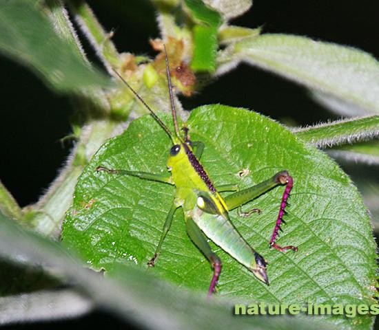 Green Grasshopper photo taken in Panama