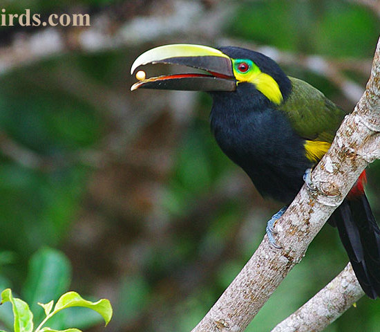 Yellow Eared Toucanet Eating