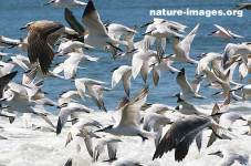 Swarm or flocking of a large group of seabirds