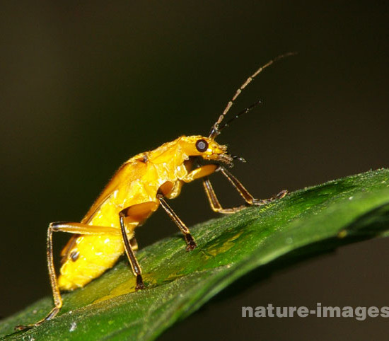Golden Beetles - images taken in the rain forest of Panama