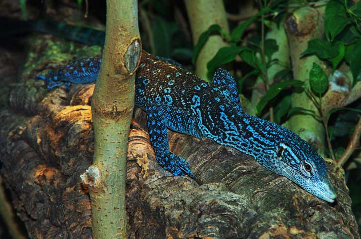 Blue-spotted tree monitor