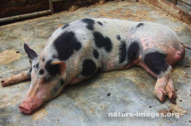 Huge Lazy Pig