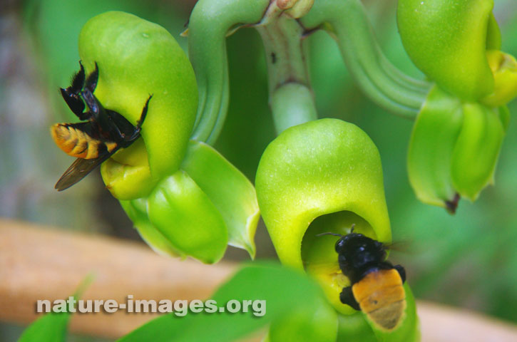 Green Orchids with Bumble Bees