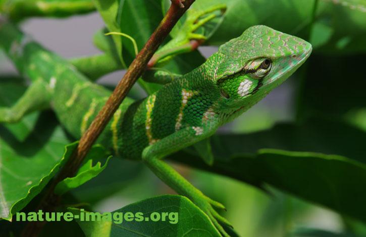 Juvenile Green Iguana
