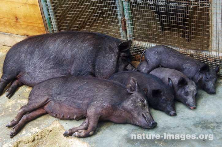 Pot Belly Pigs Sleeping