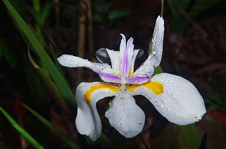 Walking Iris, Apostle Plant Neomarica gracilis