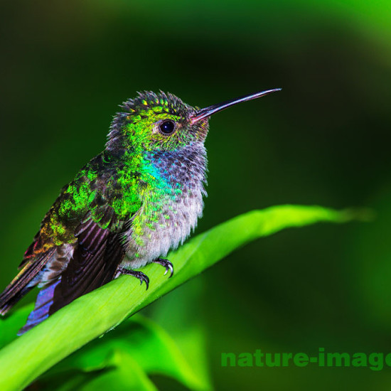 Young Blue Chested Hummingbird
