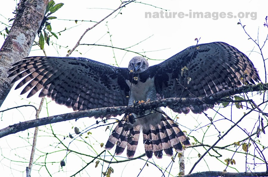 Harpy Eagle Open Wings