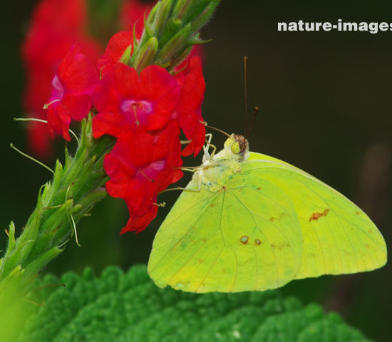 Orange barred Sulfur butterfly on a verbena flower