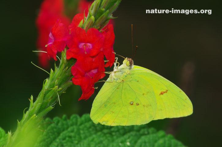 Orange barred Sulfur butterfly on a verbena flower