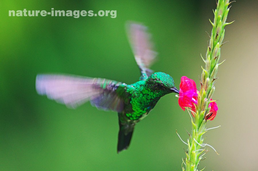 Hummingbird approaching Pink Verbena Flower