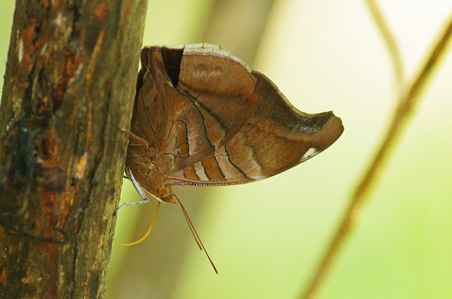 Big Brown Butterfly