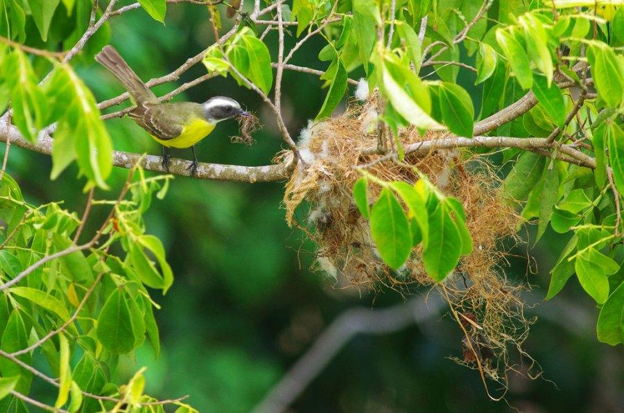 Flycatcher building nest