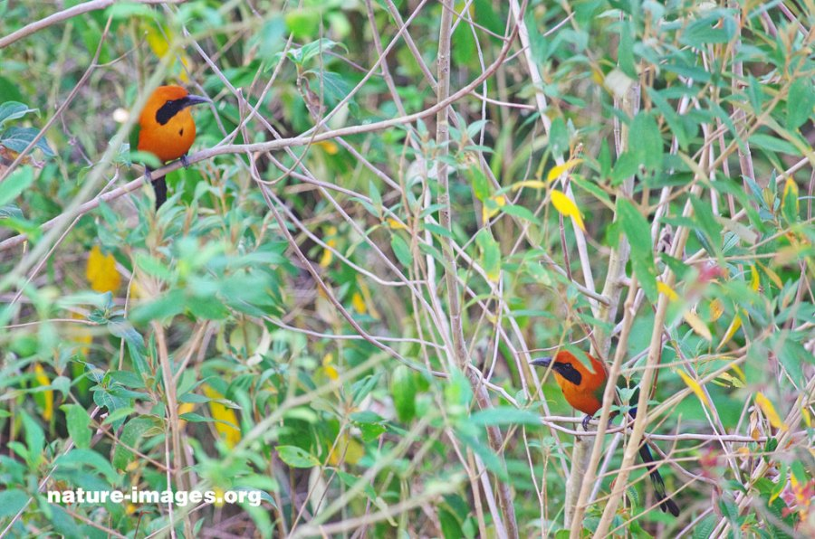 Rufous motmot male and female (Baryphthengus martii)