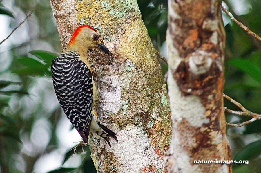 Red crowned Woodpecker