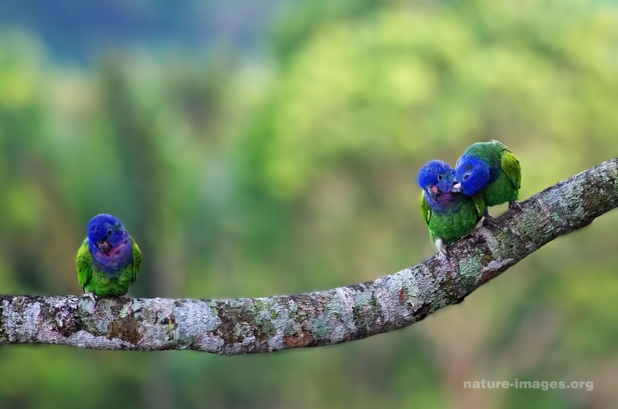 Blue Headed Parrots