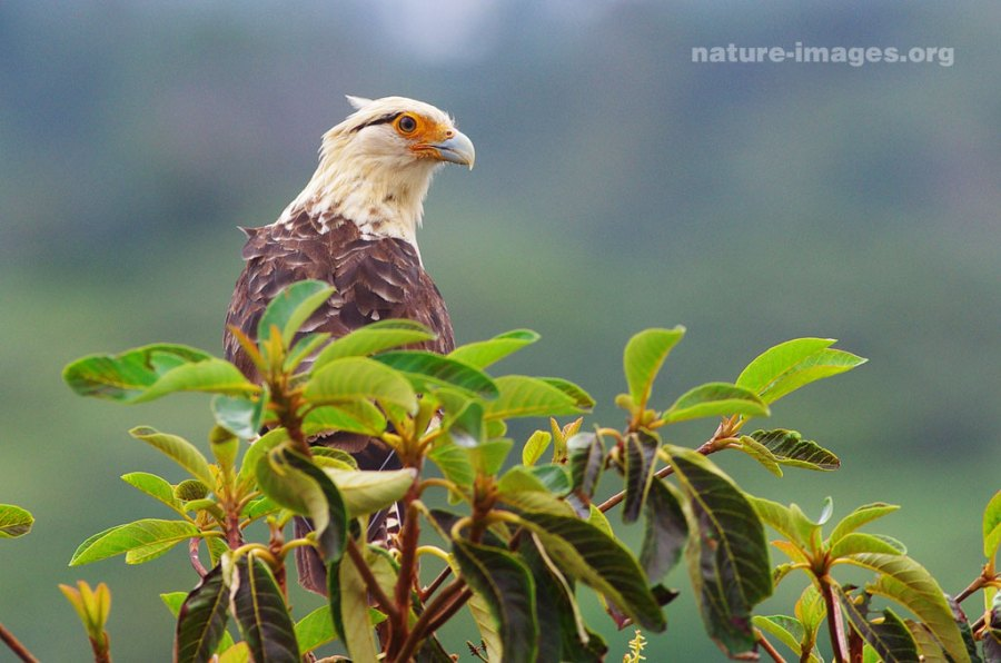 Yellow headed caracara (Milvago chimachima)