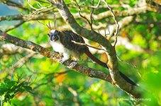 Geoffroy's tamarin (Saguinus geoffroyi)