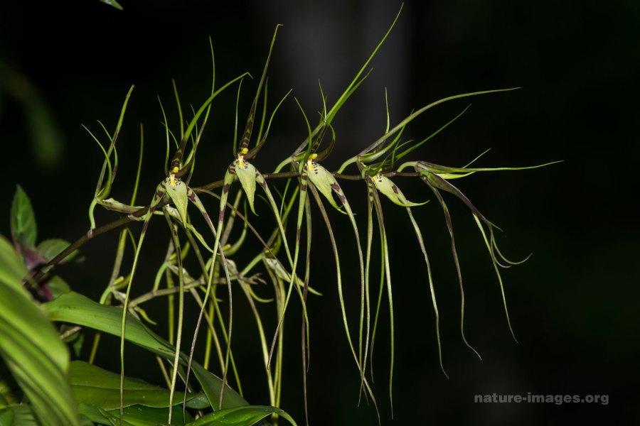 Brassia caudata (spider orchid)