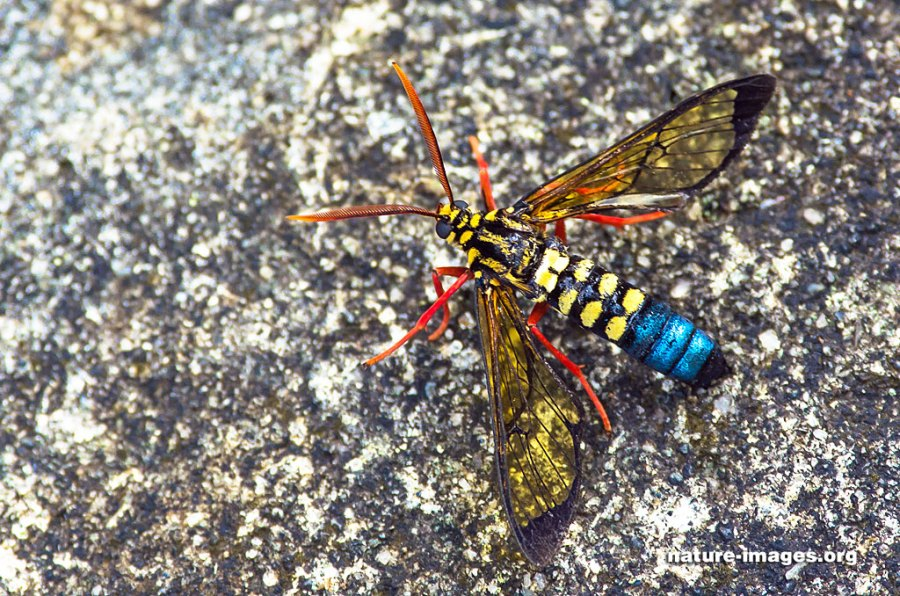 Colorful wasp with big antennae