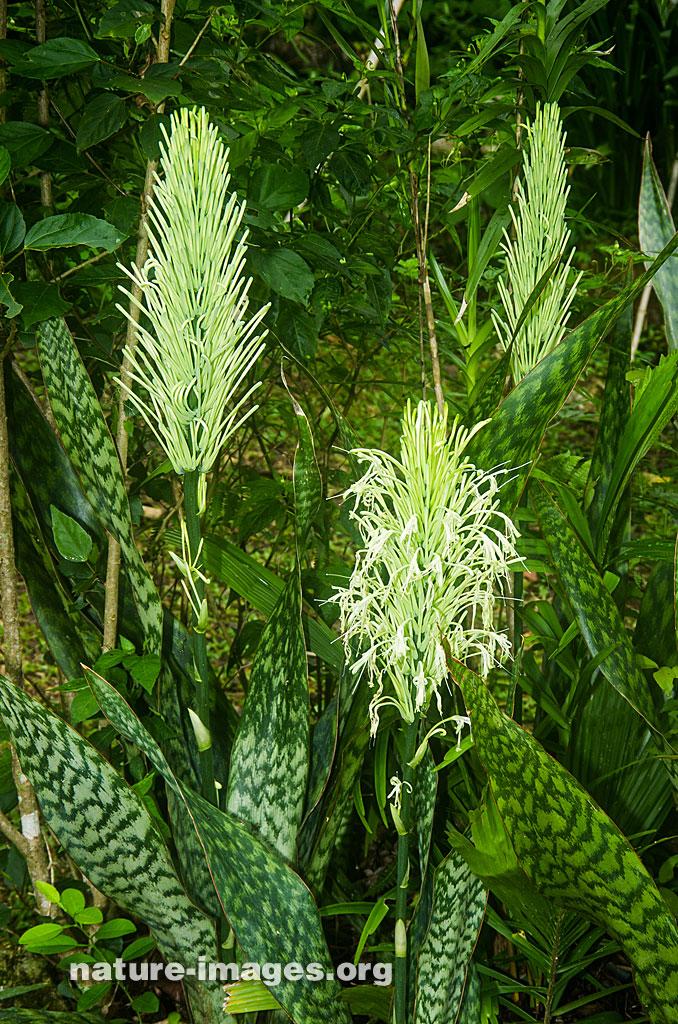 Sansevieria flowers