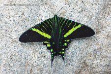Green-banded Urania Moth