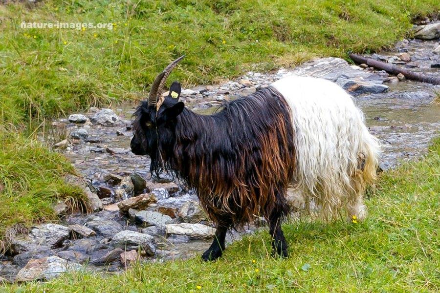 Valais Blackneck - Gletschergeiss