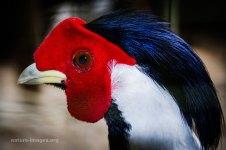 Silver Pheasant