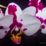 White and red orchids