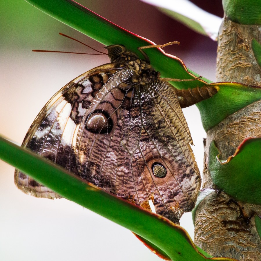 Butterfly laying her egg under leaf