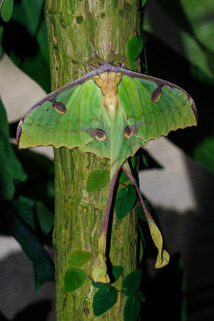 Argema mimosae (African moon moth)