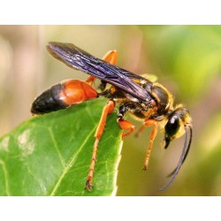 Small Crop Of Great Golden Digger Wasp