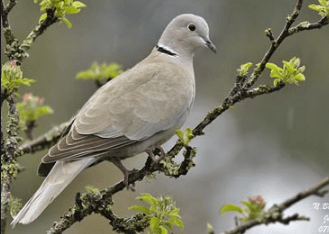 Eurasian collared dove (Streptopelia decaocto) Camedi pdf updated