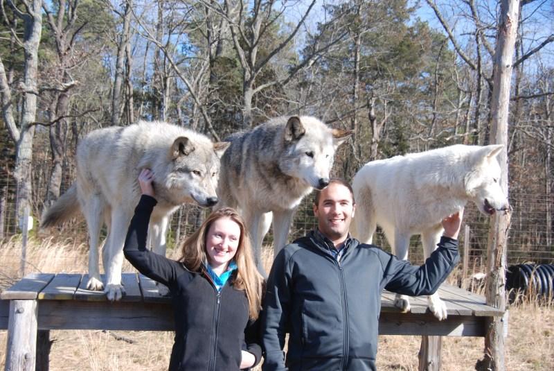 Large Of Wolf Hybrid Dog