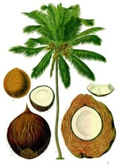 Cocos_nucifera_-_Köhler–s_Medizinal-Pflanzen-187