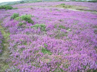 Heather on Luccombe Down