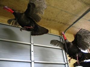 turkeys015