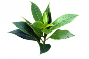 Tea-tree1