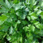 parsley-393028_960_720-300x225