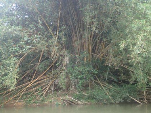 Bamboo up the jungle river at Nargana