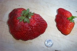 one large and one small strawberry