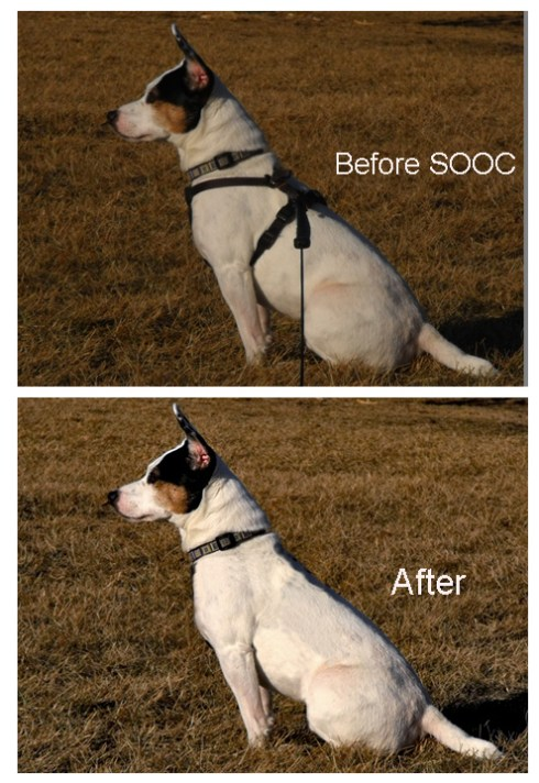 Jack Russell dog, before and after Photoshop