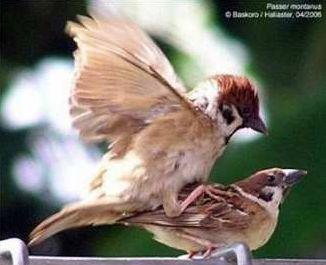 Burung Gereja