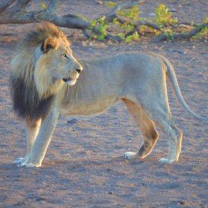 lion-in-zimbabwe