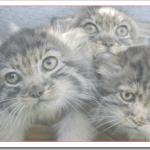 猫ブランブルの値段と性格や飼い方は?平均体重や平均寿命は?