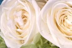 白い薔薇と青い薔薇の写真素材