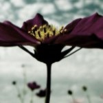 空に向かって大きく花開くコスモス